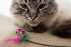 CAT DEL ADULTO RAGDOLL CON EL JUGUETE Imagen de archivo libre de regalías