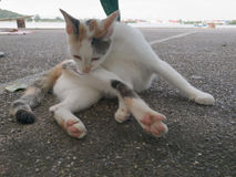 CAT, DER PELZ LECKT Lizenzfreie Stockbilder