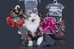 Cat-designer presents his collection of clothes Royalty Free Stock Photos