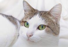 Cat. Detailed closeup view of a beautiful cat shot in studio Royalty Free Stock Image