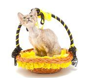 Cat Devon Rex Royalty Free Stock Images