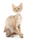 Cat Devon Rex Stock Photo