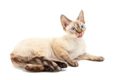 Cat Devon Rex Stock Photography