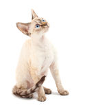 Cat Devon Rex Stock Images