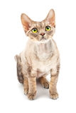 Cat Devon Rex Royalty Free Stock Photography