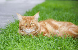 CAT DI PROCIONE LAVATORE PRINCIPALE fotografia stock libera da diritti