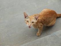 CAT DI RINGHIO Immagini Stock Libere da Diritti