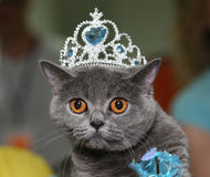 Cat with a diadem. The British blue cat with a diadem Stock Photography