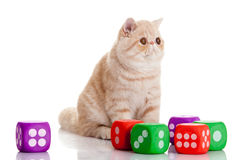 Cat with dices isolated on white backgroud pet toys Royalty Free Stock Photography