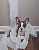 The Cat Did It!. Silly French Bulldog puppy sitting in a pile of unrolled toilet paper with an innocent look on his face Royalty Free Stock Photography