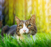 Cat with different colored eyes hunting in the summer garden Royalty Free Stock Image
