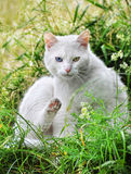 Cat with different colored eyes Royalty Free Stock Images