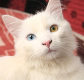 Cat with different eyes color Royalty Free Stock Image