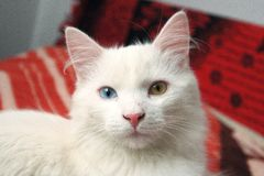 Cat with a different eyes color Royalty Free Stock Photos