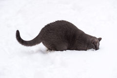 Cat digging snow. white background. Stock Photography
