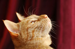 Cat distraction. Portrait of a distracted ginger tabby cat royalty free stock image