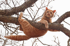 Cat in distress - orange tabby cat about to fall. Off of a tree; with a worried look on his face Stock Photo