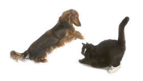 Cat and dog. Black cat and brawn dog playing together Royalty Free Stock Photos