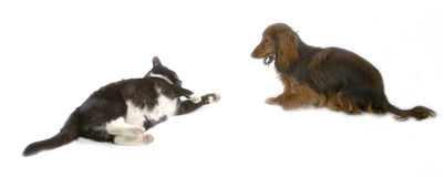 Cat and dog. Black cat and brawn dog playing together Stock Images
