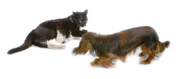 Cat and dog. Black cat and brawn dog playing together Royalty Free Stock Photo