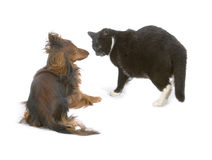 Cat and dog. Black cat and brawn dog playing together Royalty Free Stock Photography