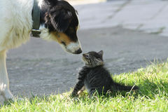 Cat and dog. (dog want to be friend Royalty Free Stock Images