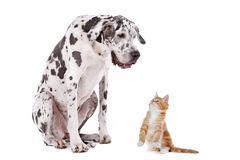 Cat and Dog. A dog and a cat in front of a white background Royalty Free Stock Photo