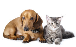 Cat and dog. Cat kitten Maine Coon  and dog dachshund Stock Photo