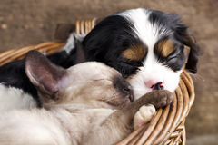 Cat and dog. Cavalier King Charles spaniel  puppy and kitten Royalty Free Stock Image