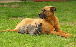 Cat and Dog. A cat and a dog lie together on the grass Stock Image