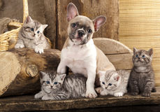 Cat and dog. British kittens and French Bulldog puppy in retro background Stock Photo