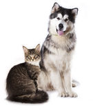 Cat and dog. Alaskan Malamute and cat breeds Maine Coon, Cat and dog royalty free stock photos