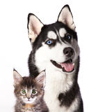 Cat and dog. Siberian Husky  and cat breeds Maine Coon, Cat and dog Royalty Free Stock Photography