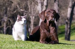 Cat And Dog. Outdoor relationship comp close up of a German Shorthaired Pointer and a white and black cat who are best friends Royalty Free Stock Photo