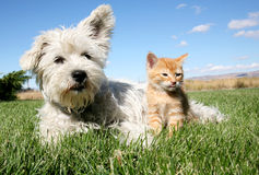 Cat and Dog. A six week old kitten and a white terrier on lawn Stock Photos