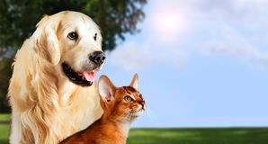 Cat and dog, abyssinian cat, golden retriever together on peaceful nature background Stock Photo