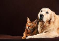 Cat and dog, abyssinian kitten , golden retriever looks at left. Cat and dog, abyssinian kitten and golden retriever looks at left stock images