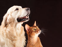Cat and dog, abyssinian kitten , golden retriever. Cat and dog, abyssinian kitten and golden retriever looks at right Royalty Free Stock Photos