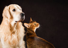 Cat and dog, abyssinian kitten, golden retriever Stock Photos