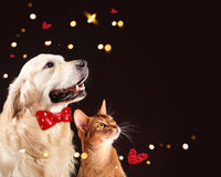 Cat and dog, abyssinian kitten , golden retriever looks at right Stock Photos