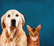Cat and dog, abyssinian kitten , golden retriever. Sad anxious expression Stock Images