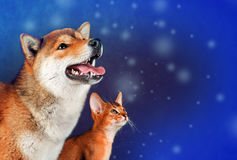 Cat and dog, abyssinian kitten , shiba inu puppy look at left stock photos