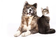 Cat and dog. Akita inu  and cat breeds Maine Coon, Cat and dog Royalty Free Stock Photo