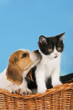 Cat and dog in a basket. Beagle dog and british shorthair kitten in a basket Stock Images