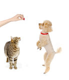 Cat and dog begging for food Royalty Free Stock Photography