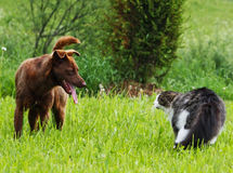 Cat and dog conflict. Royalty Free Stock Photo