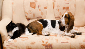 Cat and dog on the couch. Black cat and dog breed Basset-hound on the couch Stock Images