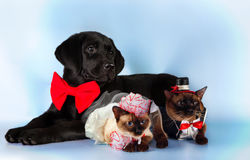 Cat and dog, couple of mekong bobtail cats in wedding costumes, black labrador, groom , bride on blue background Royalty Free Stock Photo