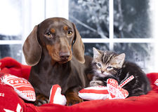 Cat and dog,. Dachshund puppy and kitten chocolate color Stock Photo