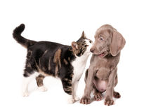 Cat and dog encounter Royalty Free Stock Photography